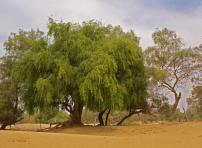MUSTARD TREE2